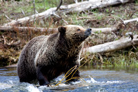 Yellowstone Grizzly #3
